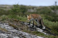 Красная лиса, лисица лисицы Стоковое Изображение
