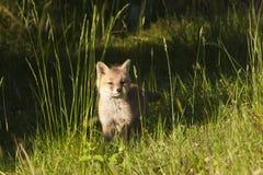 Красная лиса младенца стоя в глубокой траве, Вогезы, Франции Стоковое Изображение