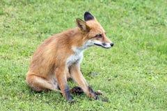 Красная лиса на траве Стоковое Фото