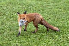 Красная лиса на траве Стоковая Фотография