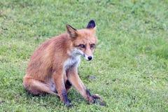 Красная лиса на траве Стоковое Изображение RF