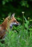 Красная лиса сидя в траве Стоковое Изображение RF