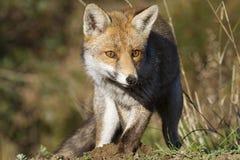 Красная лиса Стоковая Фотография RF