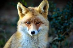 Красная лиса Стоковые Фотографии RF