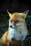 Красная лиса Стоковые Изображения
