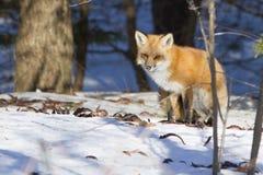 Красная лиса Стоковое Фото