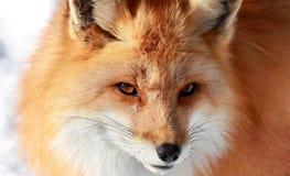 Красная лиса стоковые фото