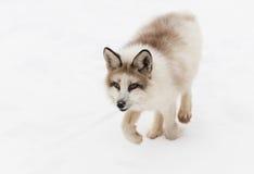 Красная лисица лисицы Fox мрамора идет рысью вперед Стоковое Изображение