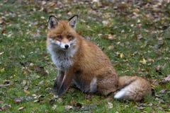 Красная лисица на лужайке Стоковые Фото