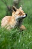 Красная лисица (vulpes Vulpes) Стоковые Фотографии RF