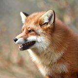 Красная лисица (vulpes Vulpes) Стоковые Фото