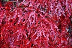 Красная листва плача дерева японского клена Laceleaf в осени Стоковая Фотография