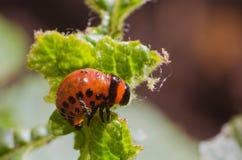 Красная личинка жука картошки Колорадо ест листья картошки Стоковые Изображения RF