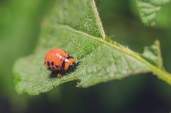 Красная личинка жука картошки Колорадо ест листья картошки Стоковые Фотографии RF