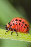Красная личинка жука картошки Колорадо ест листья картошки Стоковое Фото