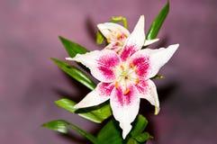 Красная и белая лилия Стоковое фото RF