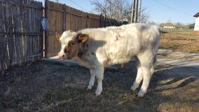 Красная и белая корова икры смотря камеру Стоковое фото RF