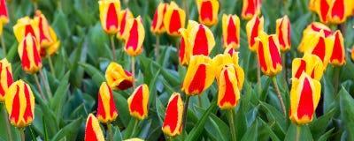 Красная и желтая предпосылка праздника тюльпанов Стоковое Изображение