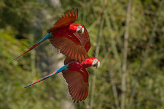 Красная и зеленая ара в среду обитания природы стоковые изображения