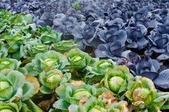 Красная и зеленая капуста растет на поле Стоковое Изображение