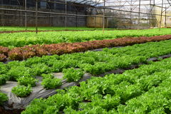 Красная и зеленая строка салата в парнике в Вьетнаме Стоковое Изображение