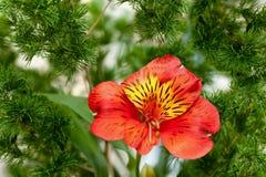 Красная лилия в травяной рамке Стоковое фото RF