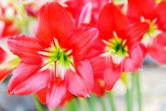 Красная лилия звезды Стоковая Фотография RF