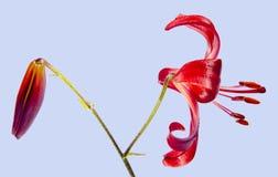 Красная лилия дня стоковое фото