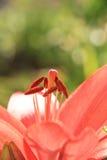 Красная лилия Стоковое Фото