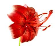 Красная лилия Стоковое Изображение