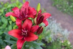 Красная лилия Стоковые Фото
