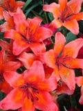 Красная лилия Стоковая Фотография RF