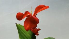 Красная лилия Canna Стоковые Изображения RF