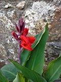 Красная лилия Canna Стоковое Изображение
