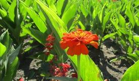 Красная и оранжевая астра Стоковые Фото