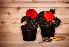 Красная и оранжевая бегония саженцев цветет и садовые инструменты Стоковые Изображения RF