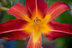 Красная и оранжевая лилия стоковое изображение
