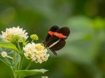 Красная и черная бабочка на цветке Стоковая Фотография RF