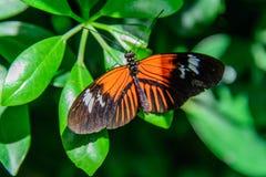 Красная и черная общая бабочка почтальона Стоковые Изображения RF