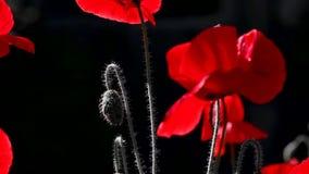 Красная и черная предпосылка Красный, нежный, воздух, животворный мак видеоматериал