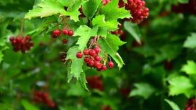 Красная калина с ягодами влажна от дождя сток-видео