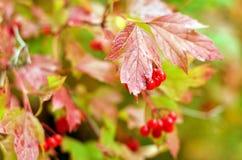 Красная калина на ветви Стоковое Фото