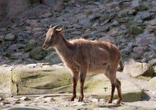 Красная коза Стоковое Фото