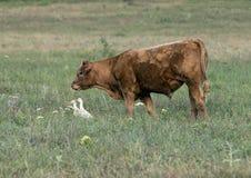 Красная корова Ангуса в поле в Оклахоме, с Egret 2 скотин Стоковое фото RF