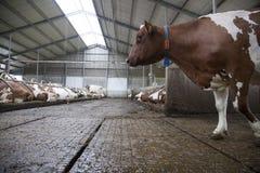 Красная корова в конюшне и другом устрашает на заднем плане Стоковые Фото