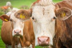 Красная корова Красный крупный план коровы на предпосылке природы Стоковая Фотография
