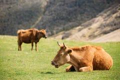 Красная корова пася на зеленом наклоне горы весной в горы Стоковая Фотография RF