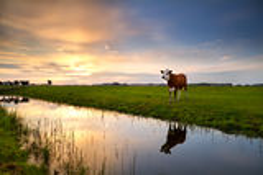 Красная корова рекой на заходе солнца Стоковое Изображение RF