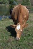 Красная корова Стоковые Изображения RF