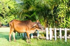 Красная корова Стоковые Фото